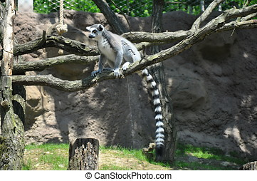Lemur on the tree with green grass background