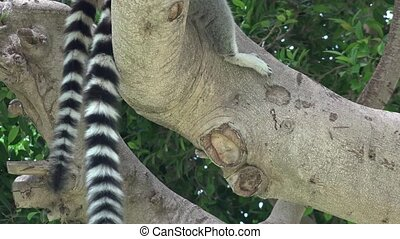 Lemur Or Racoon Striped Tails