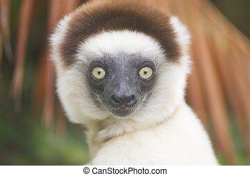 Lemur silky sifaka - Madagascar: lemur silky sifaka