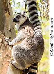 lemur sitting on a tree.