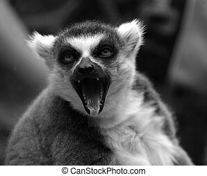 Lemur with an open mouth