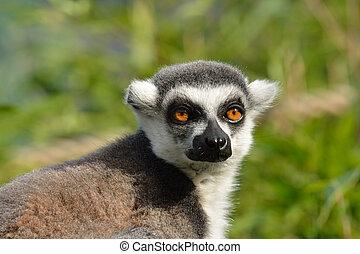 lemur, tête endosse