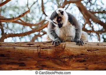 lemur, træ, ring-tailed