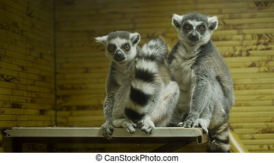 Lemurs in the cage