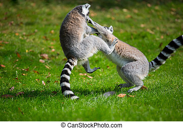Lemurs play outside on a meadow