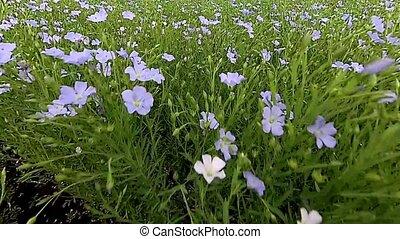 len, kwiaty, kołysząc, na, wiatr