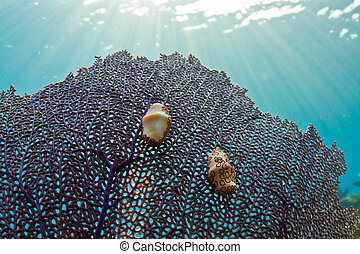 lengüeta del flamenco, gastropod