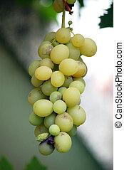 lenni, érett, szőlő, hajlandó, aratott