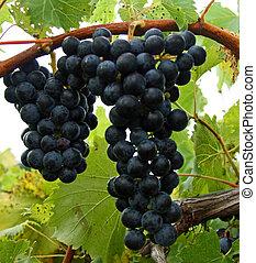 lenni, harvested., szőlőtőke, várakozás, szőlő, piros