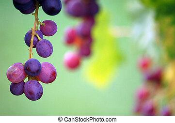 lenni, szőlő, hajlandó, aratott