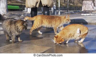 lent, femme, spring., rue, tôt, alimentation, sdf, chats, ...