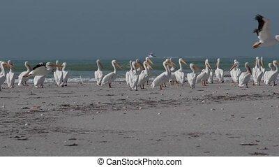 lent, fermé, florida's, pélicans, prendre, mouvement, plage...