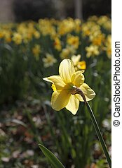 Lent Lily - Bloom of a lent lily (Narcissus)