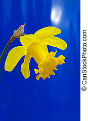 lent lily in full bloom on blue background