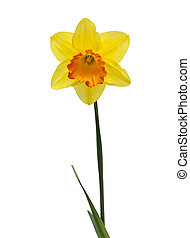 lent lily in full bloom on white background