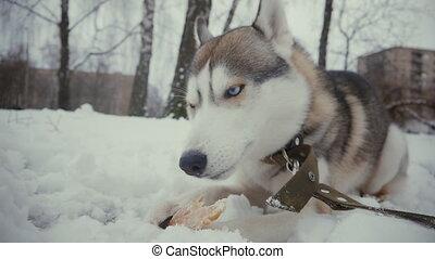 lent, manger, hiver, neige, chien, mouvement, husky, os