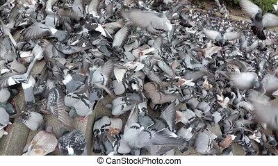 lent, pigeons, mouvement, pain, vue, manger, park., troupeau, sommet, énorme, ville, dehors