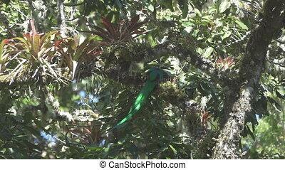 lent, quetzal, débuts, sur, voler, mouvement, branche, super