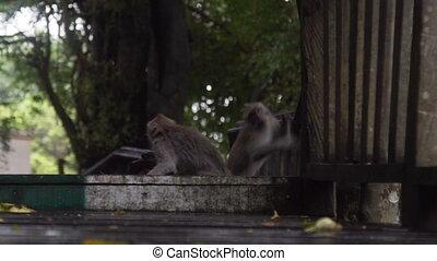 lent, singe, bali, indonésie, mouvement, sauter, forêt