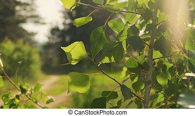 lent, soleil, feuilles, mouvement, peuplier, sous, vidéo