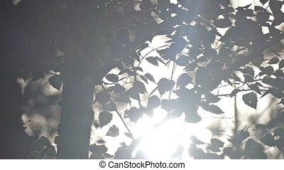 lent, soleil, feuilles, mouvement, rayons, par, bouleau, vidéo