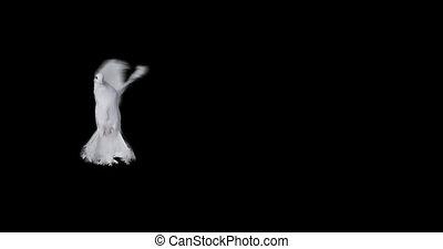 lent, voler, paix, mouvement, fond, colombe blanc, transparent