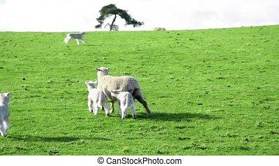 lent, zealand., mouvement, nouveau, sheeps, pré