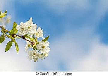 lente, achtergrond, kunst, met, witte , de bloesem van de kers