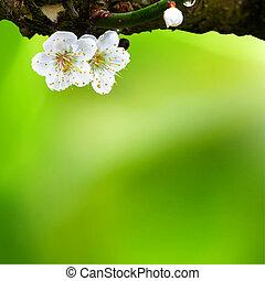 lente, achtergrond, met, pruim, bloemen