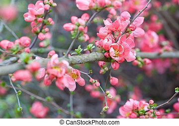 lente, achtergrond, met, roze, blossom