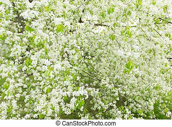 lente, achtergrond, met, witte , boom in bloesem