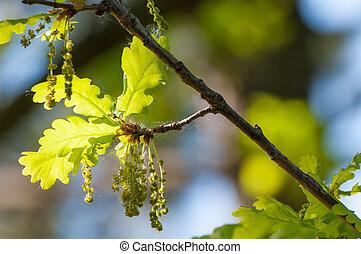 lente, bloeiend, eik