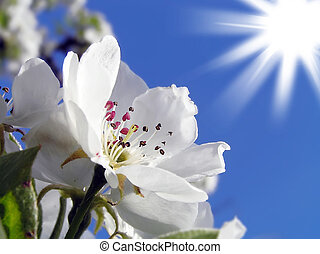 lente, bloeiend, van, appelbomen