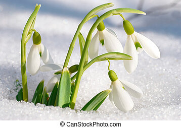 lente, Bloemen,  Snowdrop