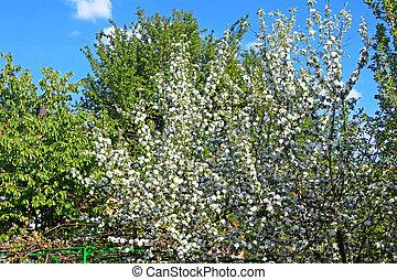 lente, boompje, appel, bloeien