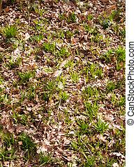 lente, bosvloer, groeiende, nieuw, spruiten, groen landschap, textuur
