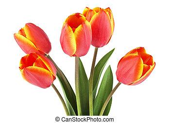 lente, bouquet., tulpen, op, een, witte , achtergrond.