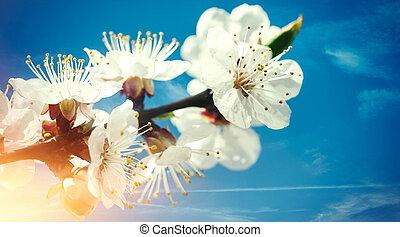 lente, floral, achtergronden, met, abrikoos, bloemen, tegen, blauwe , skie