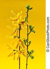 lente, forsythia, bloemen, op, gele achtergrond