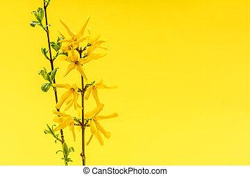 lente, gele achtergrond, met, forsythia, bloemen