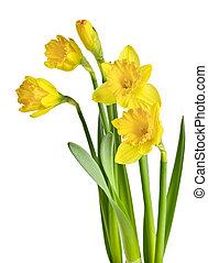 lente, gele, daffodils