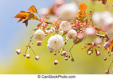 lente, grens, achtergrond, met, witte bloesem