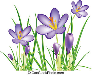 lente, krokus, bloemen, vector, illus