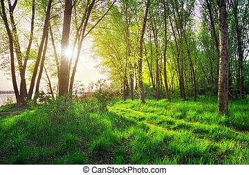 lente, landschap., mooi, scène, in, de, bos, met, zon
