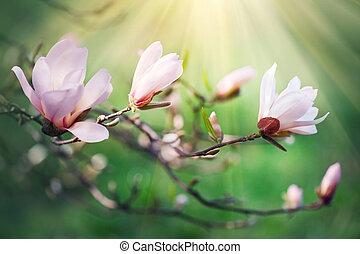 lente, magnolia, blossom , achtergrond., mooi, natuur scène, met, bloeien, magnolia