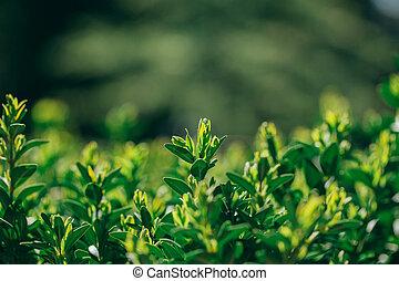 lente, op, buxus, nieuw, afsluiten, heg, spruiten, aanzicht