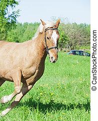 lente, paarde, rennende , palomino, akker
