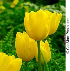 lente, tuin, gele tulp