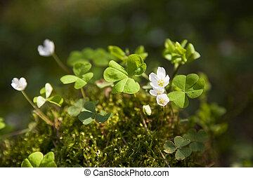 lentebloemen, in, forest.snowdrops, in, zonnige dag