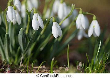 lentebloemen, snowdrops